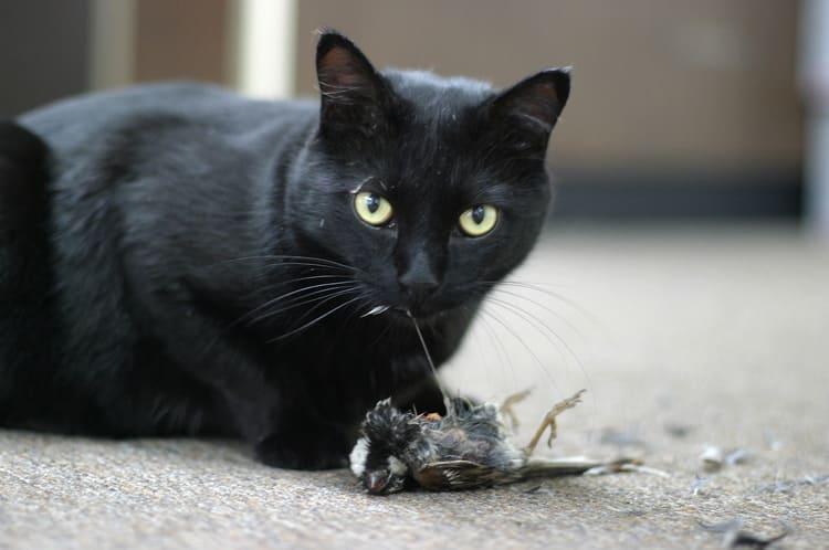 吃麻雀的貓