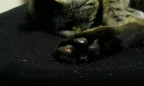 貓腳掌破皮
