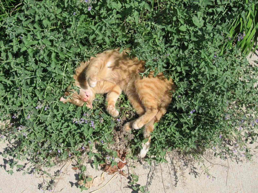 貓薄荷叢中的橘貓