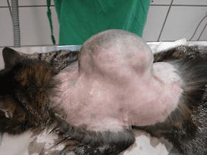 正要切除背部腫瘤的貓