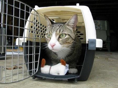 適應貓籠的貓咪