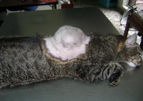 背部長腫瘤的貓