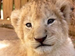 年幼的獅子