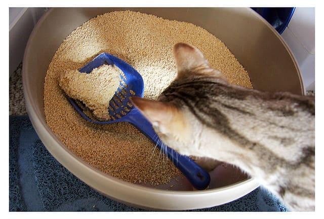 貓站在貓砂盆前聞味道