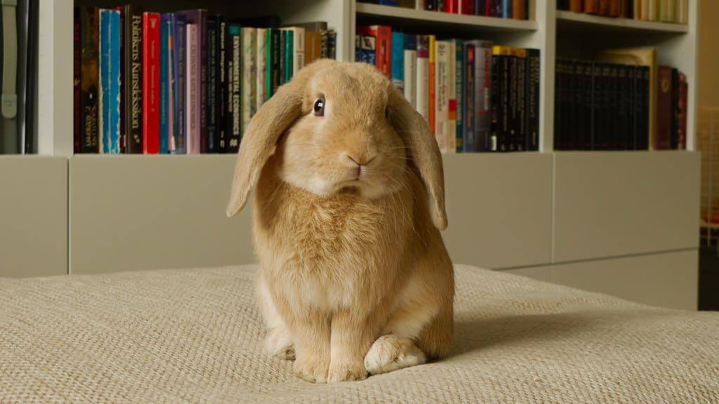 飼養的兔子