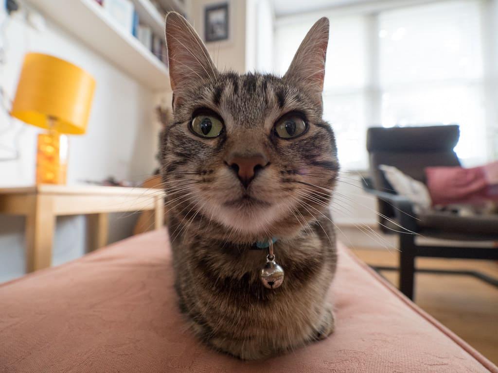 廣角鏡頭下的貓咪