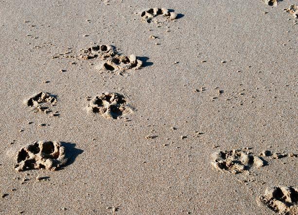 砂上的貓腳印