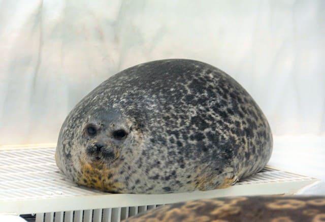 動物園中的海豹