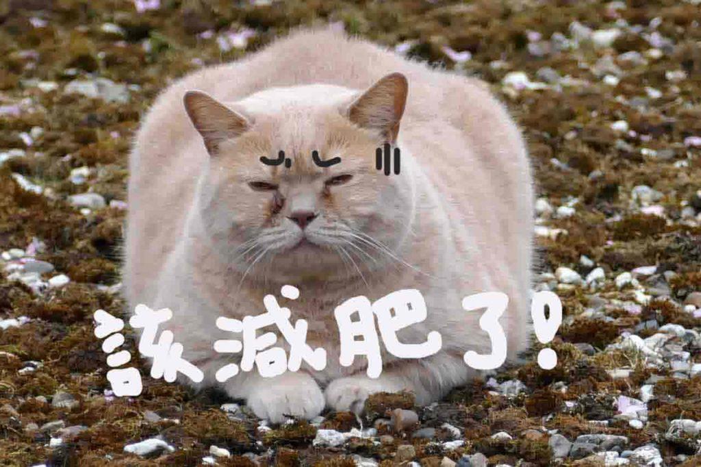 貓太胖要減肥精選圖片