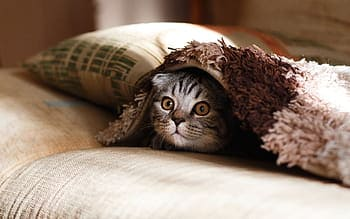躲在被窩的貓