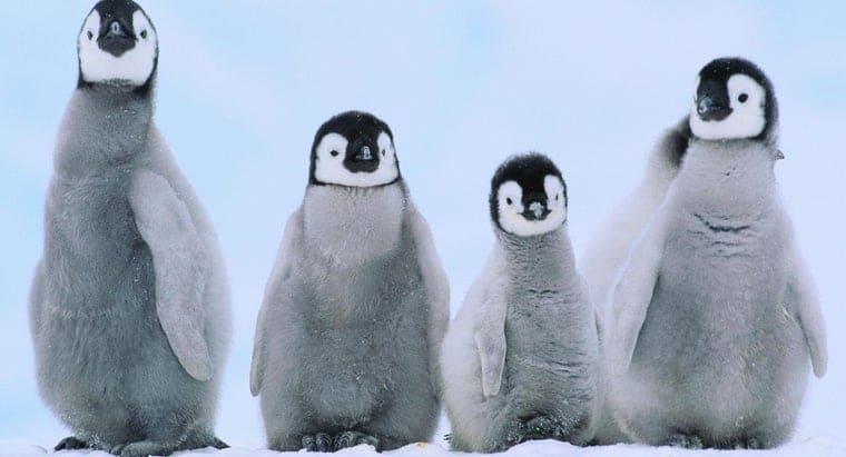 站在雪中的小企鵝