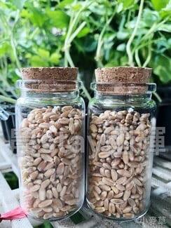 小麥草種子