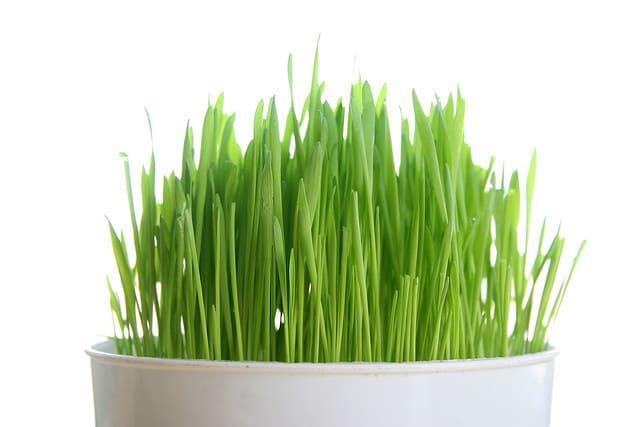 大麥草、小麥草