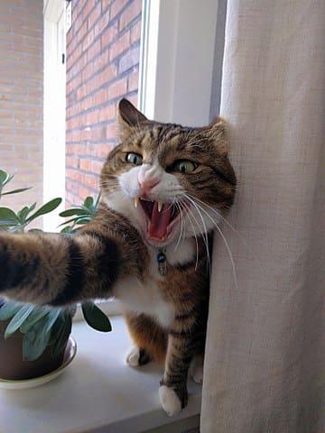 具有攻擊性的貓