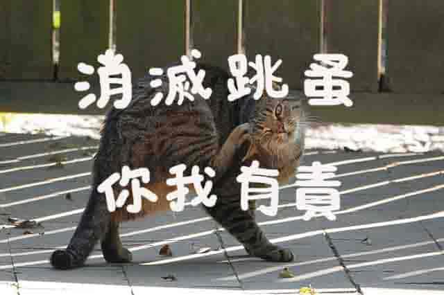 貓咪跳蚤精選圖片