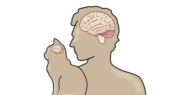 貓與人的大腦示意圖