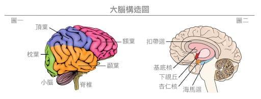 大腦構造圖